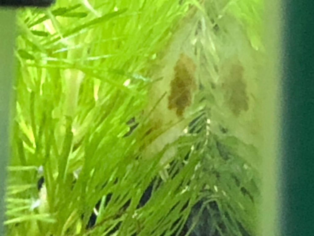 ミナミヌマエビの抱卵